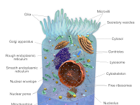 Organelle Diagram