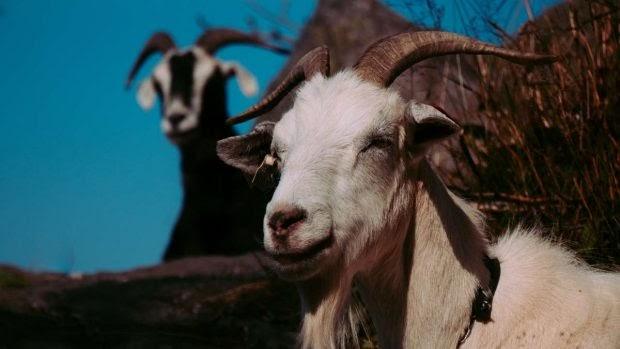 Cómo tratar la mastitis en ovejas y cabras