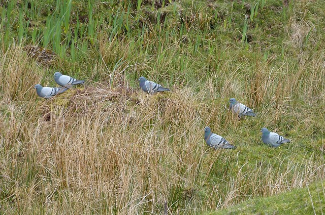 27105 - Rock Doves, Isle of Mull