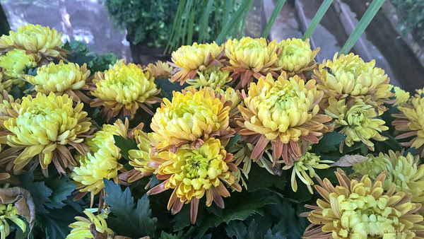 chrysanthemum in bloom at Longwood Gardens