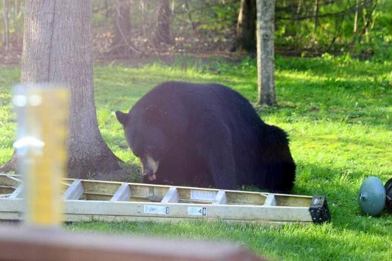 a black bear strolls into a backyard in northern Minnesota