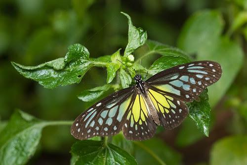 Parantica aspasia aspasia Yellow Glassy Tiger butterfly DSC_2101 copy