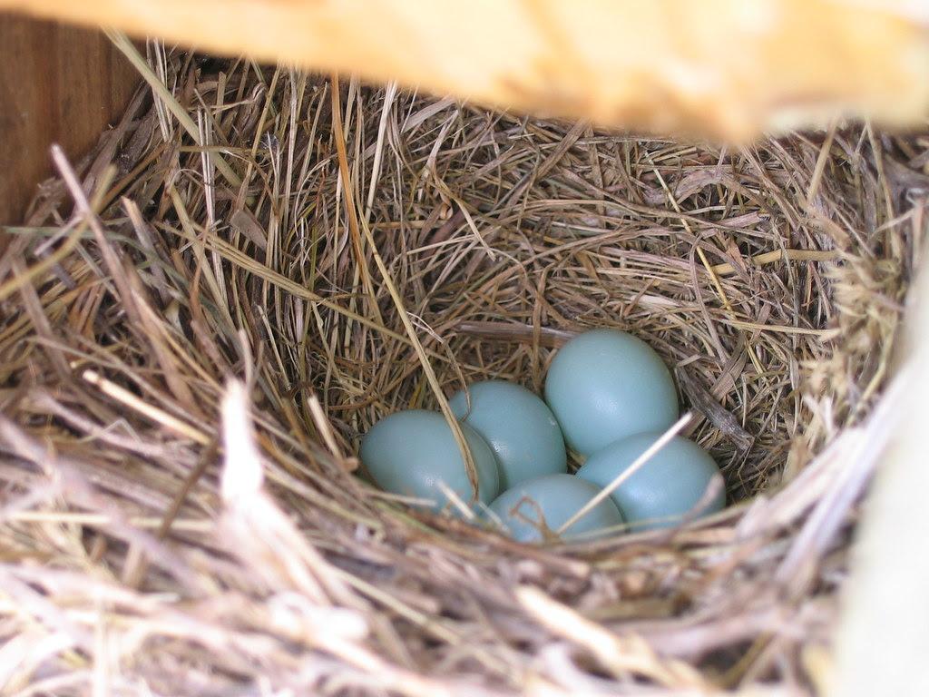 Another bluebird nest