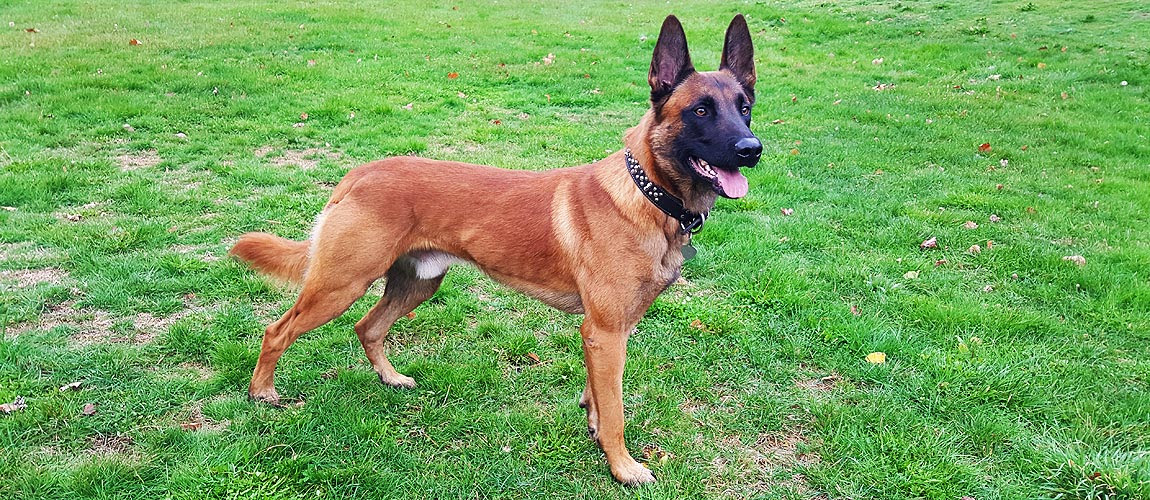 Belgian Malinois Puppy For Sale - About Malinois Breed