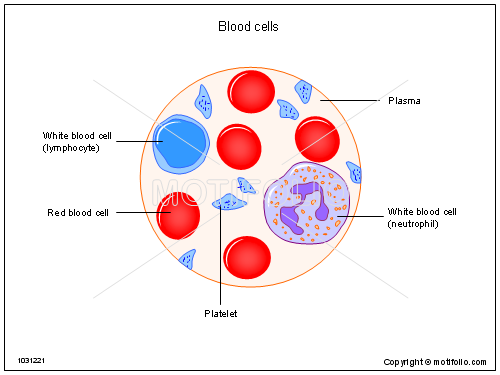 red blood cells drawing 55