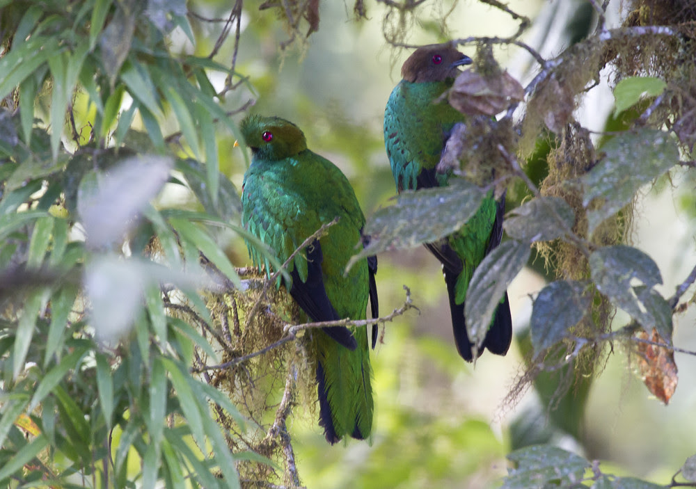Crested Quetzal Pair