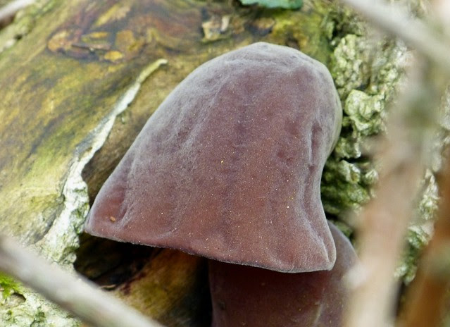 27234 - Jelly Ear Fungi, Millwood, Gower