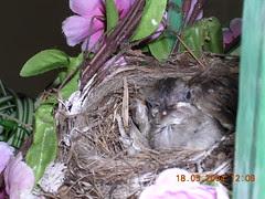 bulbul chicks7 (18May)