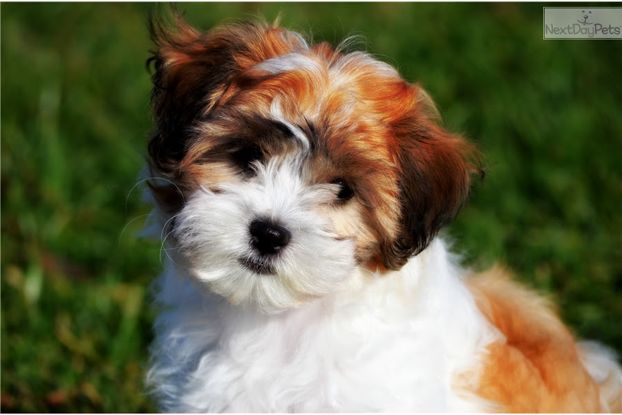 Teddy Bear Puppies Dogs For Sale In Ohio