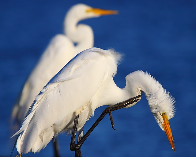 IMG_6480 Great Egret