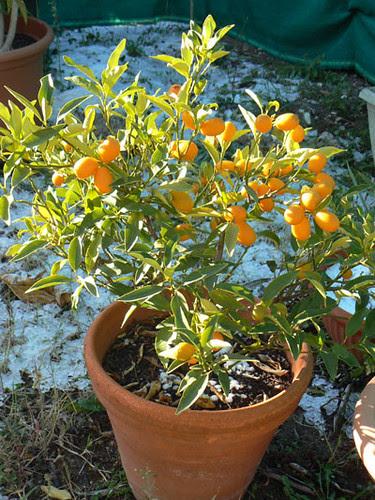 kumquat en hiver.jpg