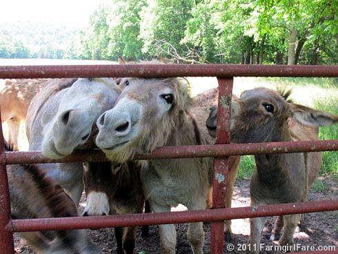 Cute donkeys hoping for treats - FarmgirlFare.com