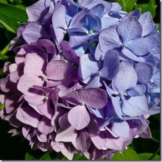 63 hortenzija