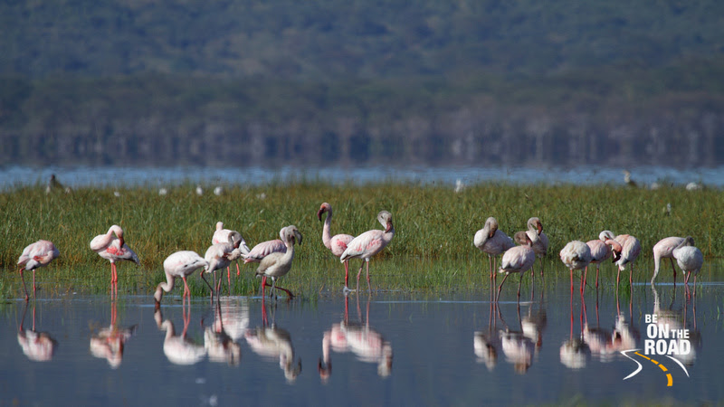 Lesser Flamingos and their reflections on the waters of Lake Nakuru