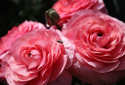 Ranunculus and Green Fly