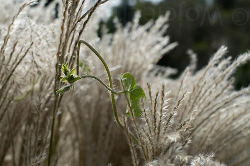 Grass #83117 by uaru.amphiacantoides