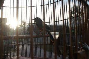 Burung kenari adalah salah satu jenis burung kicau yang banyak di lestarikan oleh sebagian 8 Manfaat Pengembunan Pada Burung Kenari