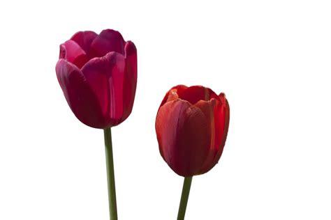 tulip flower png  transparent images