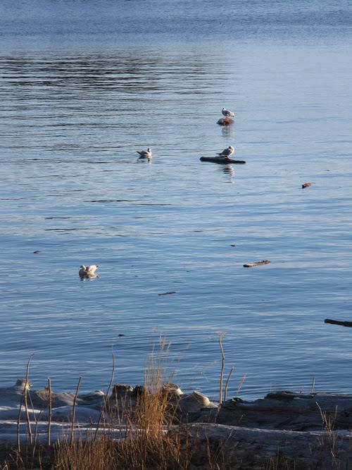seagulls near shore at high tide, Kasaan, Alaska