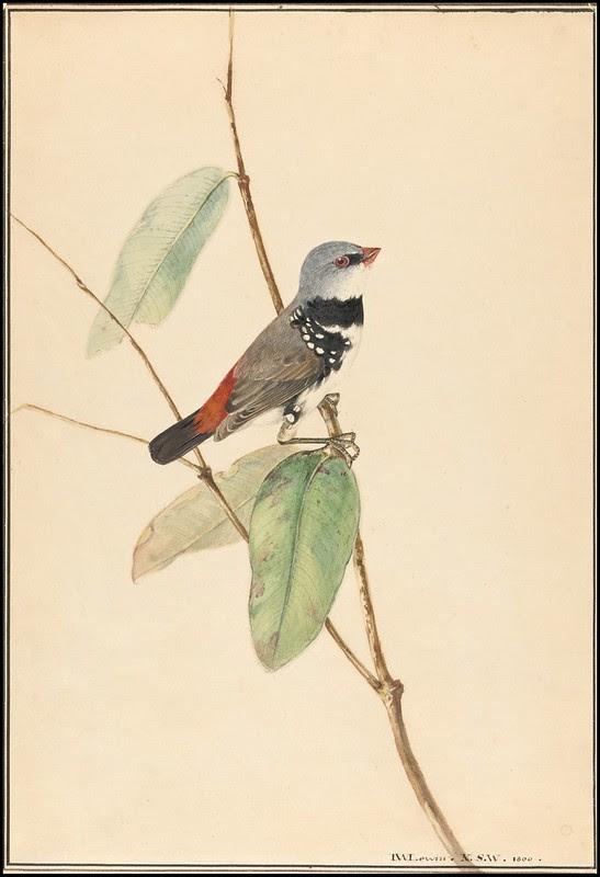 Spotted Side-Finch (Diamond Firetail) - Stagonopleura guttata 1800