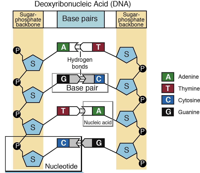 Nucleotide 1 e1354322013275