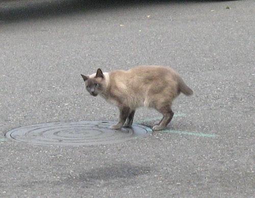 Bobtail Cat by KaCey97007