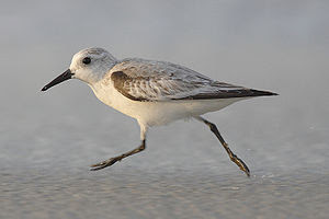 Sanderling (Calidris alba), Farallon, Panama, ...