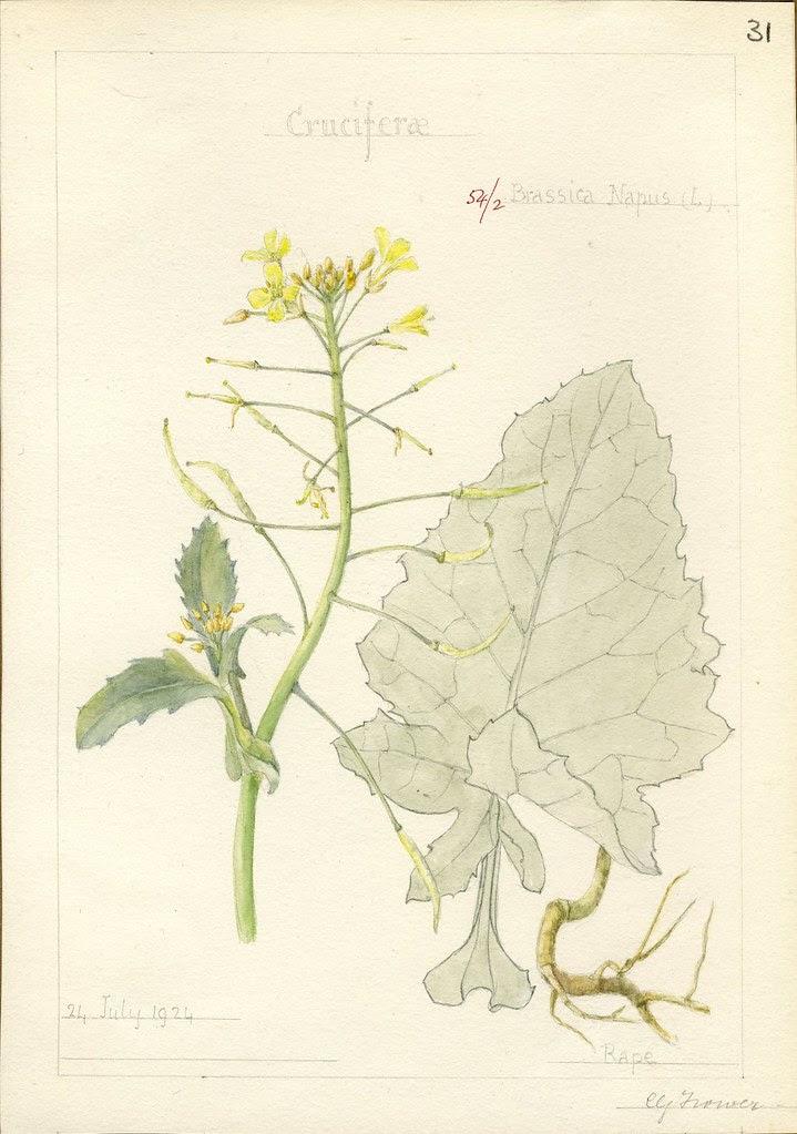 Brassica napus, 1924