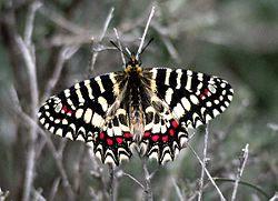 http://fr.academic.ru/pictures/frwiki/50/250px-Zerynthia-rumina-africana-ifrane.jpeg