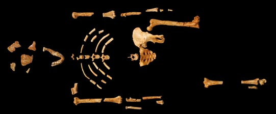 The skeletal remains of 'Lucy
