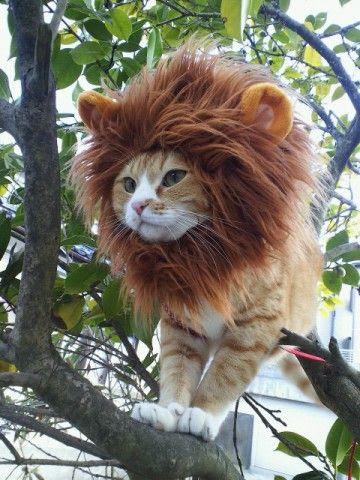 Γατουλα με χαιτη λιονταριου...