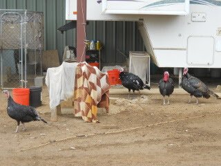 Turkey Flock December 2017
