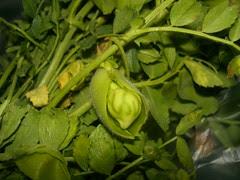 fresh chickpeas in their pod
