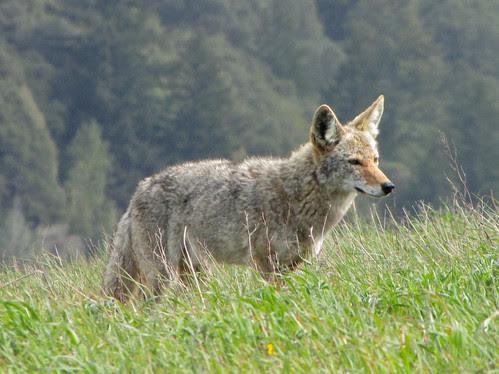 my coyote friend again