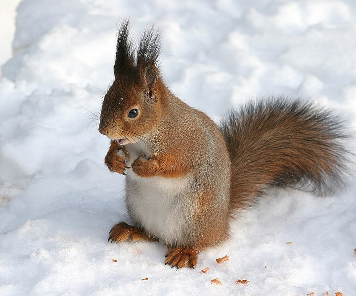 Squirrel image from Wikipedia