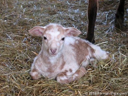 Ewe Lamb Portraits 4