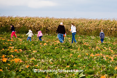 Looking for That Perfect Pumpkin, Calumet County, Wisconsin