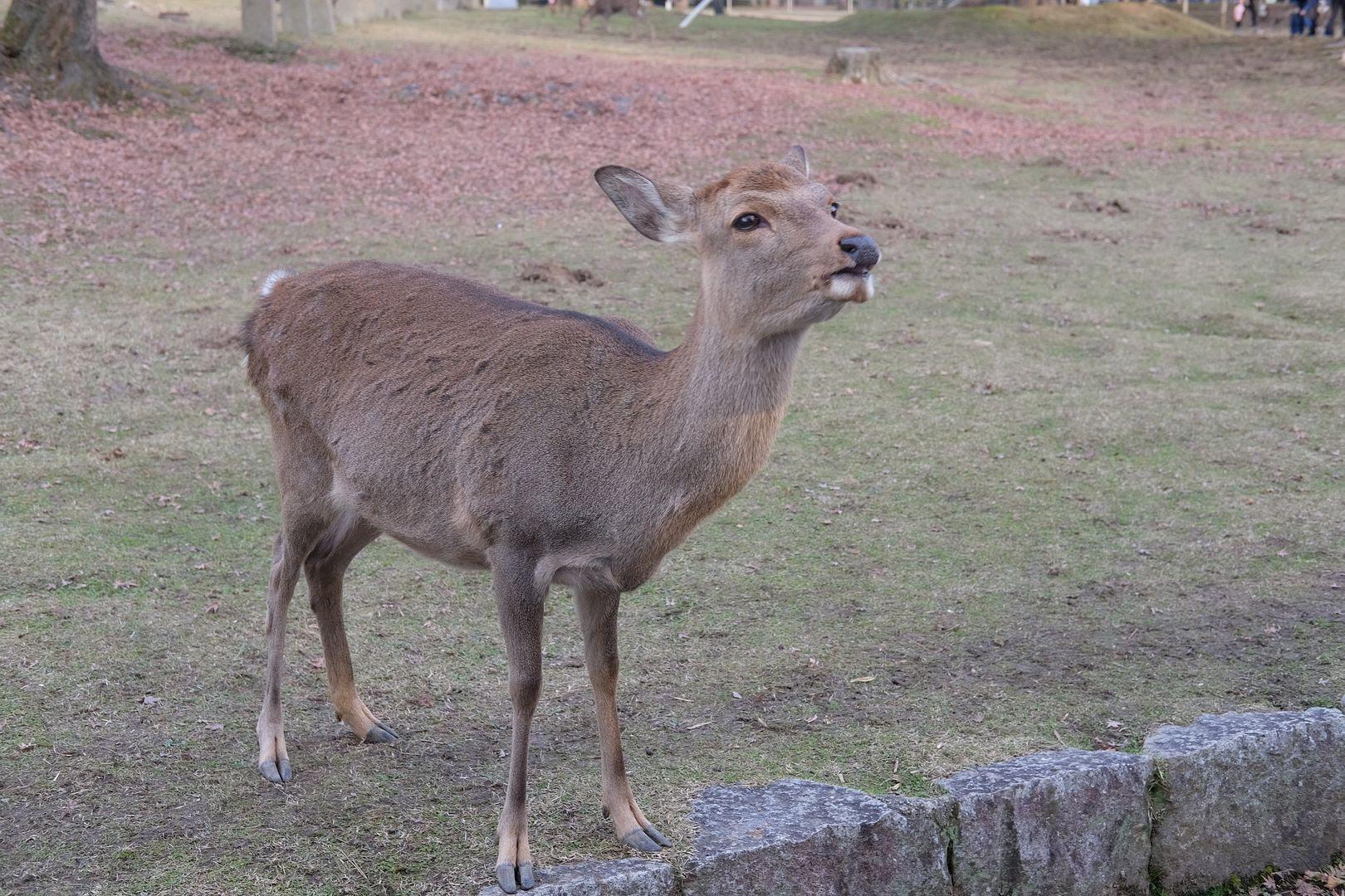 photo Nara Deer Park.jpg