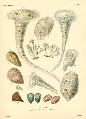 Vorticellina, Stentor