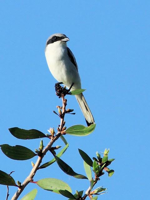 Loggerhead Shrike 20130919
