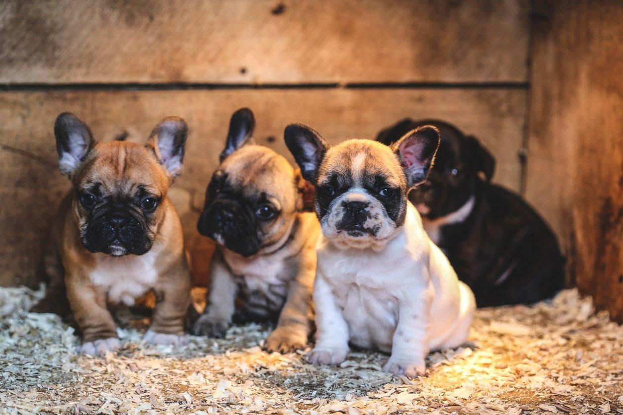 French Bulldog Pets At Home