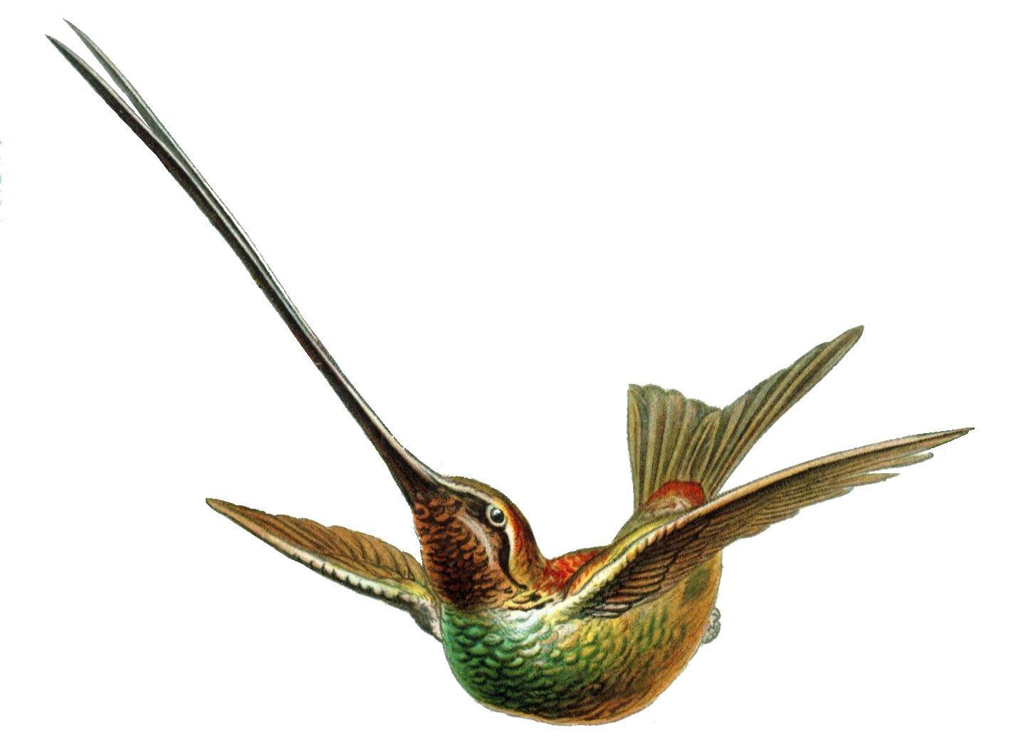 ave colibrí