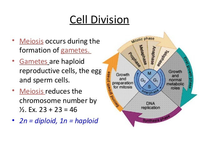 Cell Division Worksheets  plant animal cells lapbookmitosis and meiosis diagrams cell ision