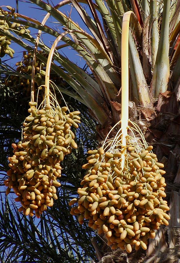 http://upload.wikimedia.org/wikipedia/commons/1/17/Dates_on_date_palm.jpg