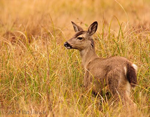 Mother mule deer