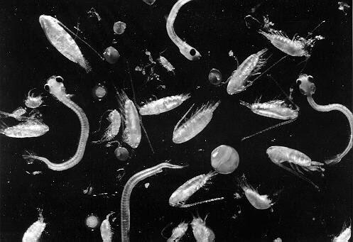 http://www.mysciencebox.org/files/images/plankton.jpg
