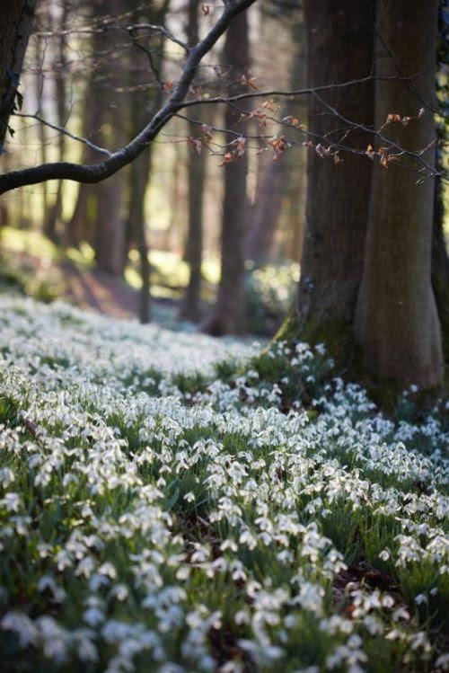 "nordicsublime: ""Snowdrops - Painswick Rococo Garden - gardenista.com """
