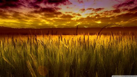 colorful sunset  wheat field wallpaper