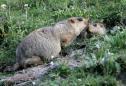 Russia cracks down on marmot hunting after bubonic plague alert
