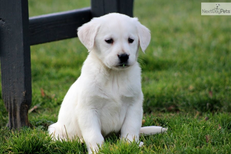 Goldador puppy for sale near Lancaster, Pennsylvania  ed197839b0f1